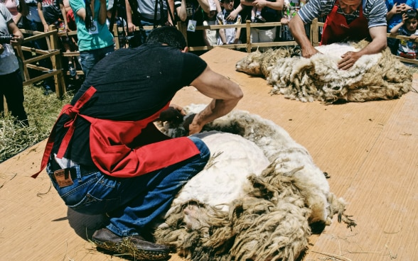 Sheep Shearing Festival 2017 © FDFA