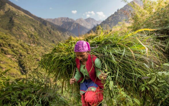 A young women carries a bale of fresh grass on her back.
