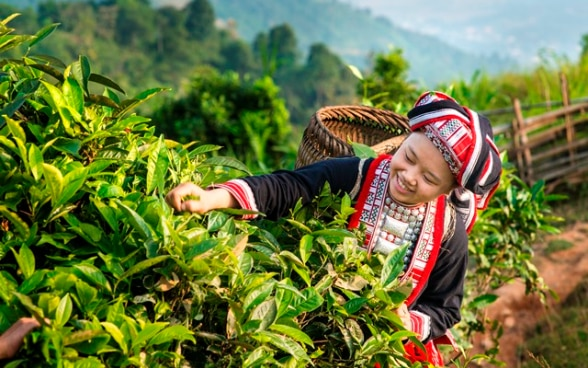 A woman in traditional dress picking tea leaves.