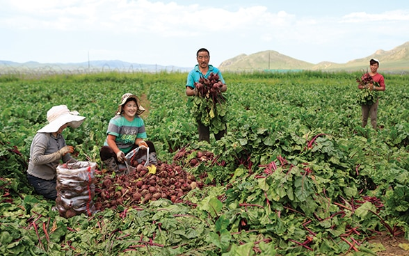 Asian women and men harvest vegetables together in a field.