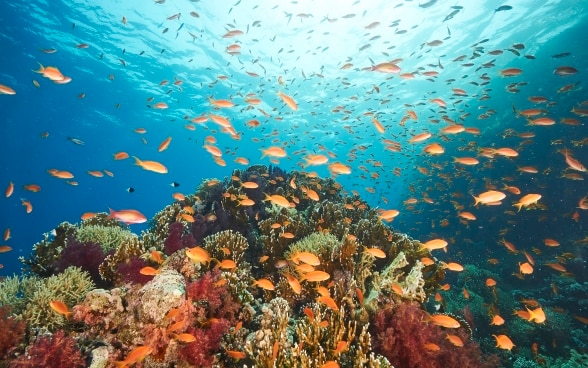 Underwater photograph of numerous orange fish swimming around the coral reef in the Gulf of Aqaba.