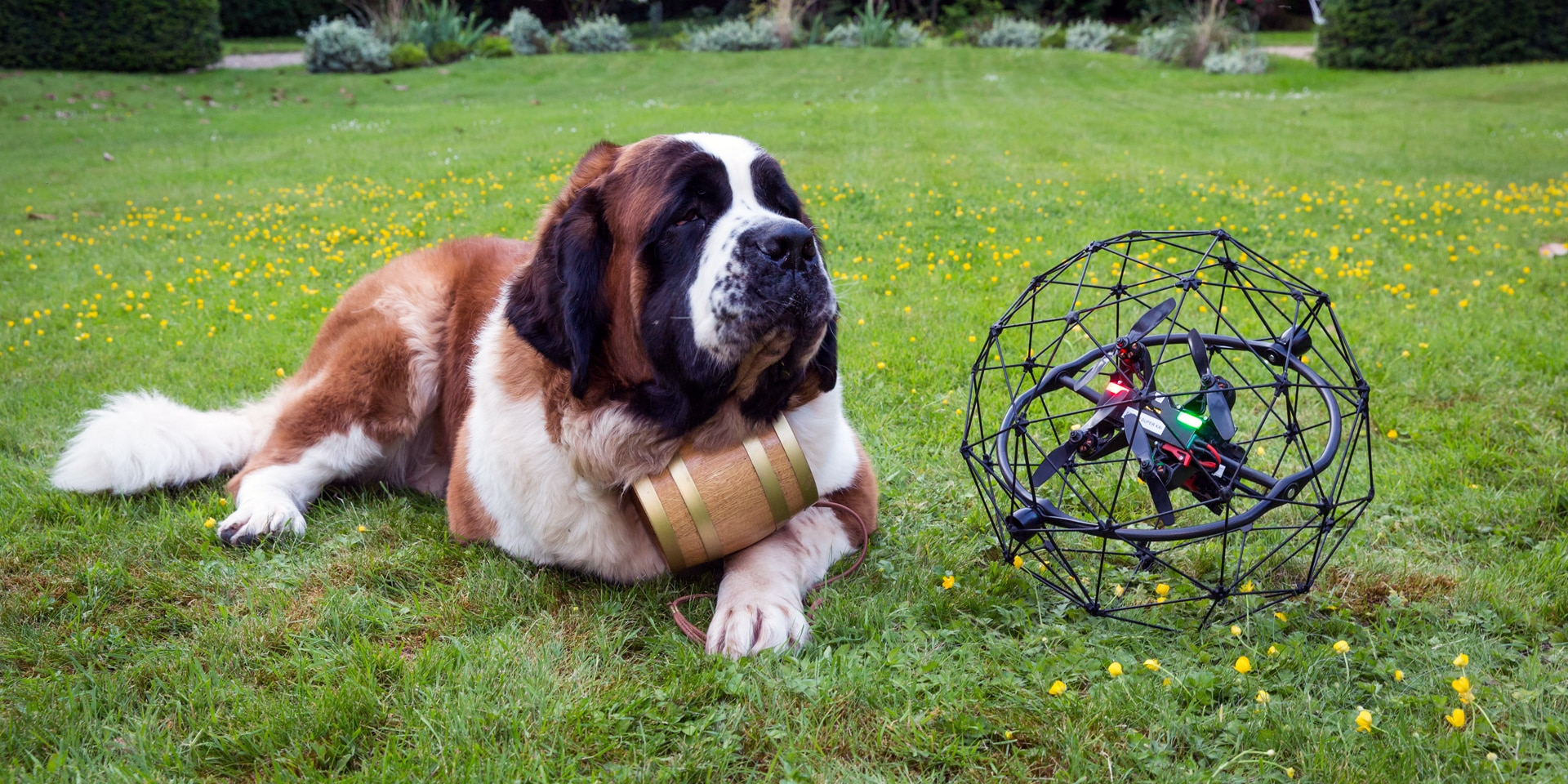A St Bernard dog lying on a meadow with a modern drone next to it.