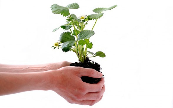 Hands holding a  plant as a symbol of environmental protection