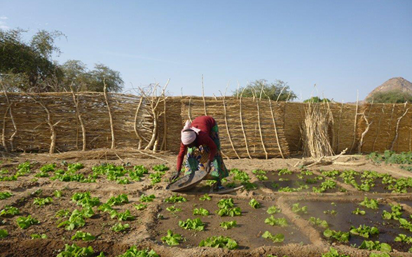 A woman manuring her lettuce patch in Biltine in the Chadian Sahel.
