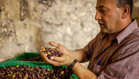 A farmer holds freshly harvested olives in his hands. He seems to be explaining how they have been cultivated.
