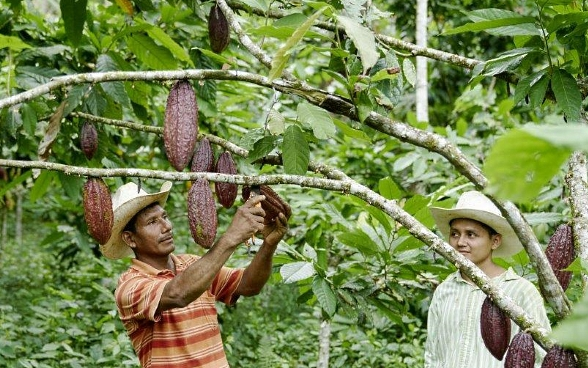 A man raises his arms to harvest a cacao pod. A boy stands next to him watching.