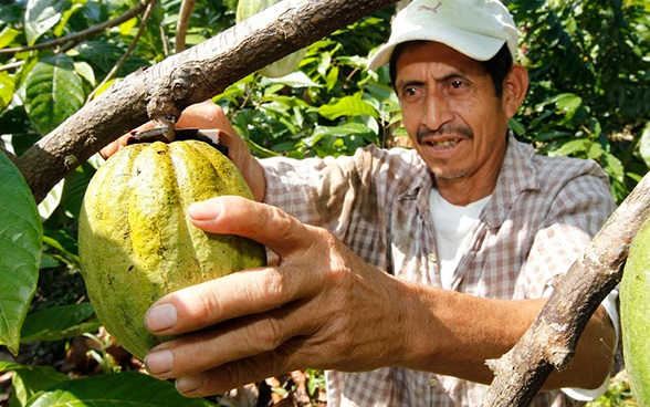 A man picks a cacao pod.