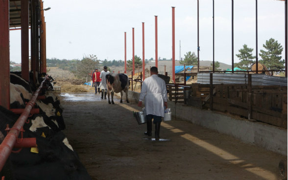 The photo shows Giorgi carrying veterinary equipment as he walks towards a cow.