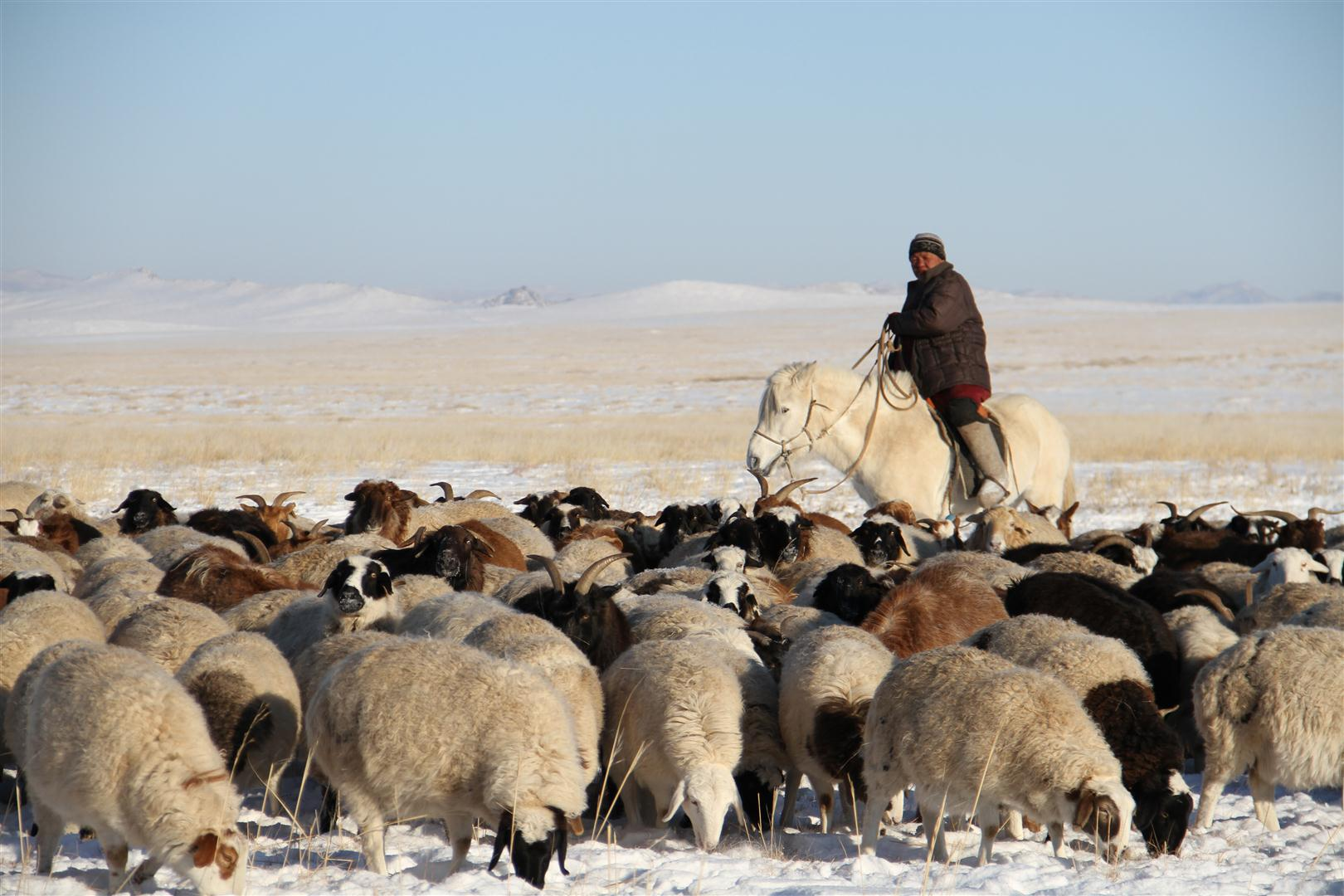Mounted Mongolian herdsman leading his flock of sheep through snow-covered plains.